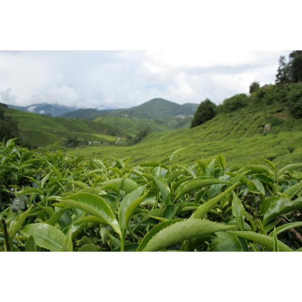 Что такое чай на самом деле?